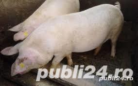 Porci de carne rasa marele alb 80-120 kg