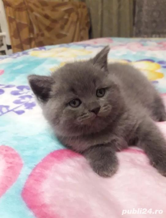 Vand pisici British Shorthair Blue, par scurt, sociabile