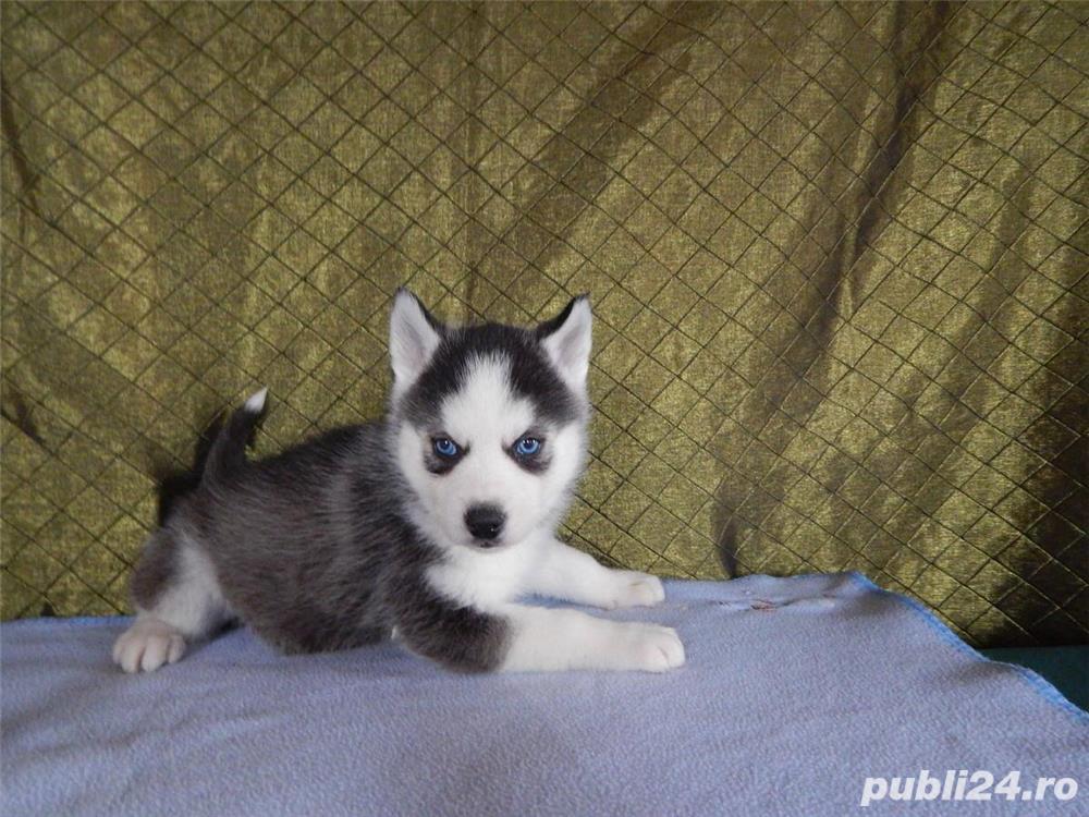 Vand Husky Siberian cu ochi albastri