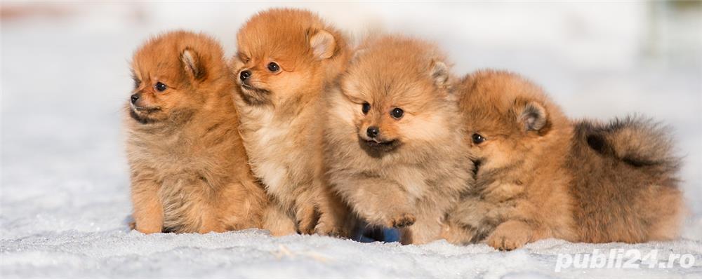 Pomeranian teacup si varianta Boo