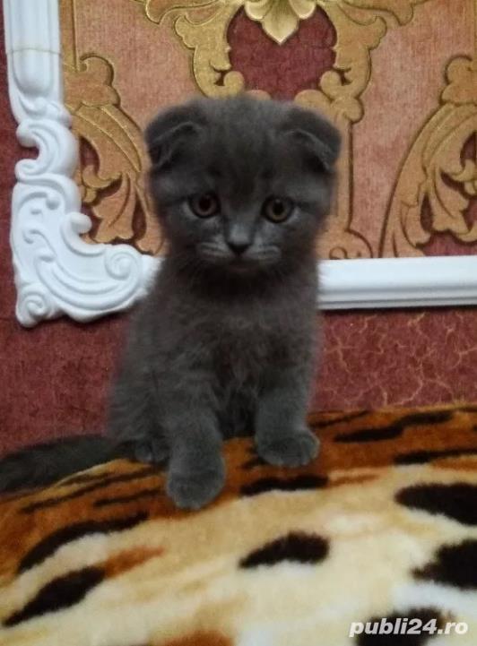 Vand pisici Scottish Fold, par scurt, urechi pliate