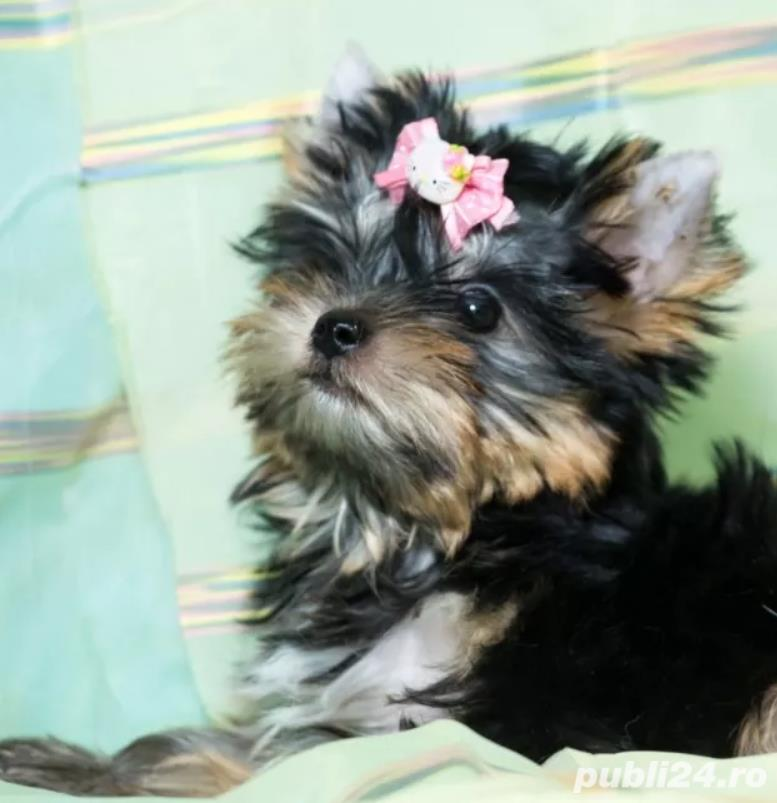 Vand Yorkshire Terrier talie mini