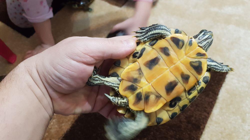 Broscuță țestoase