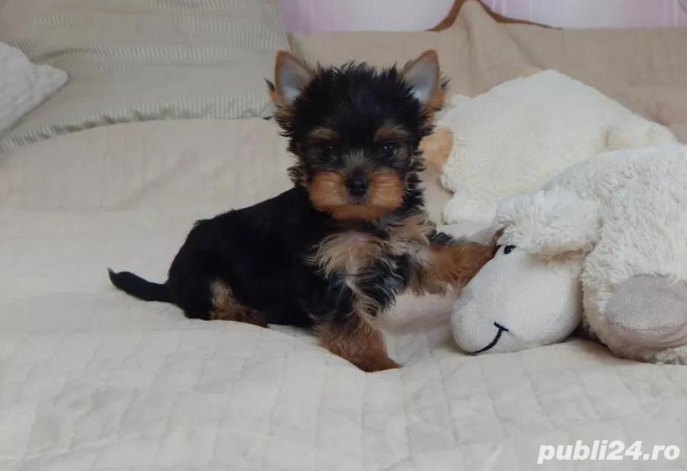 Yorkshire Terrier talie mini toy rasa pura
