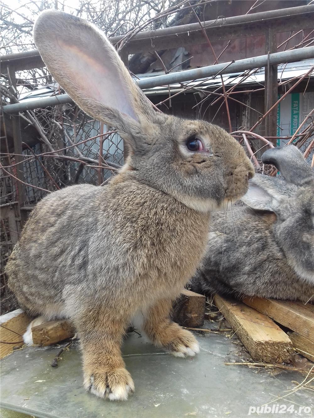 vand iepuri urias german si metis