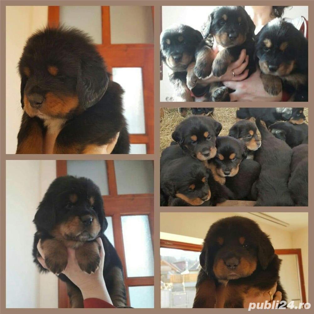 Pui Mastiff Tibetian