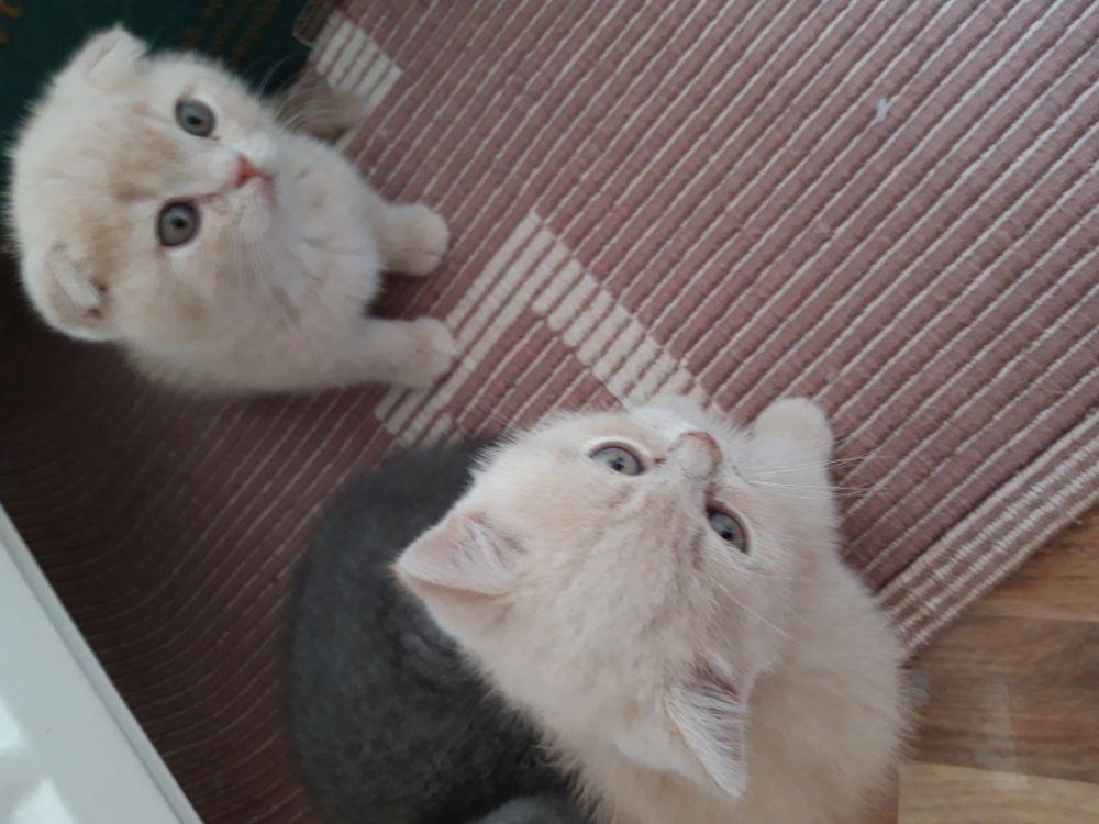vand pui pisica british shorthair crem