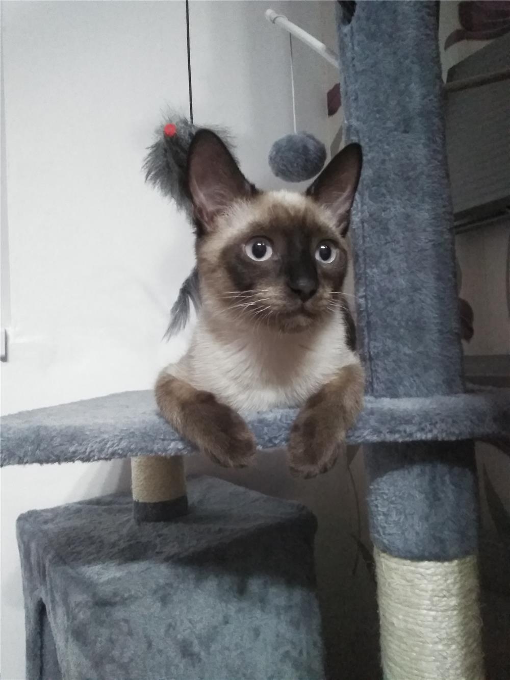 Cumpăr pisică siameză (fetiță mică)