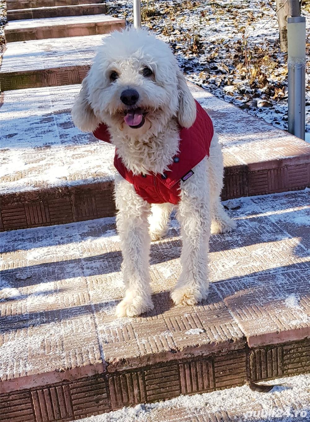 Caniche alb mascul mediu 15 kg 9 ani, inteligent, bland, cauta pereche
