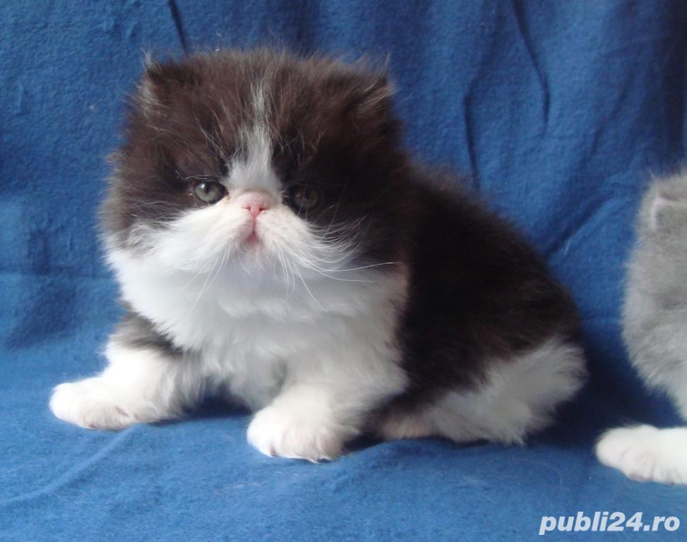 pisicuta persana cu boticul turtit