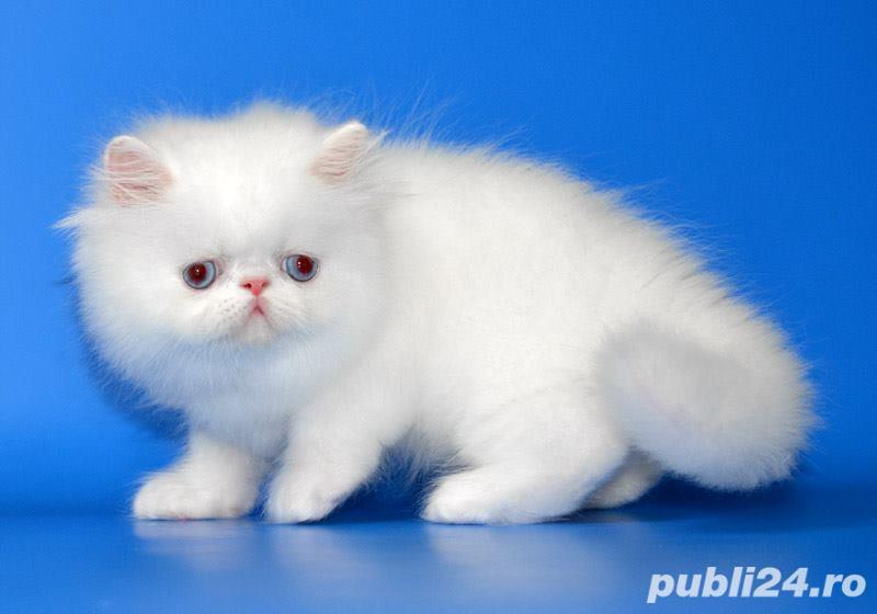 pisicuta persana alba