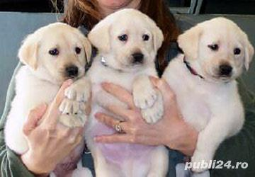 Vand pui Labrador, alb, galben, negru, ciocolata sau albastru