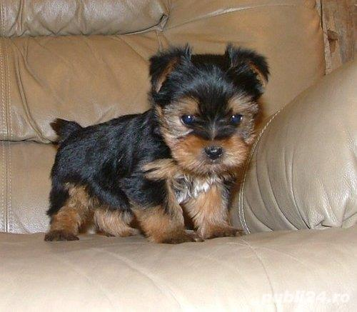Vand pui Yorkshire terrier, standard, TeaCup si Baby Doll Toy