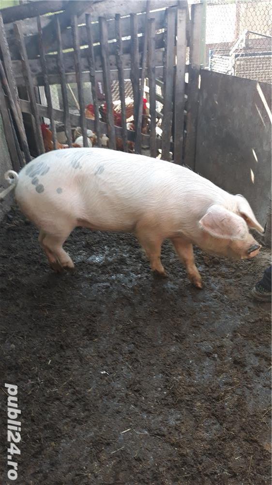 Porci, de carne, de la 80 kg pana la 150 kg
