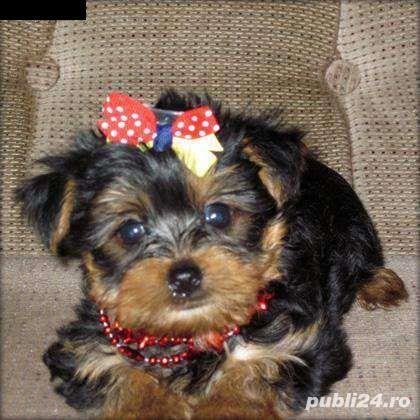 vand catei yorkshire terrier