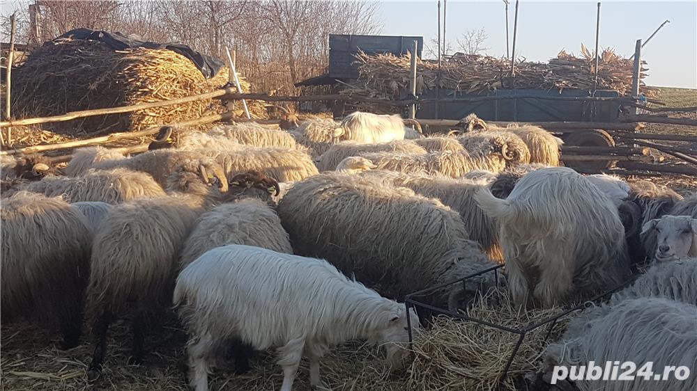 Vand oi cu miei si capre cu iezi