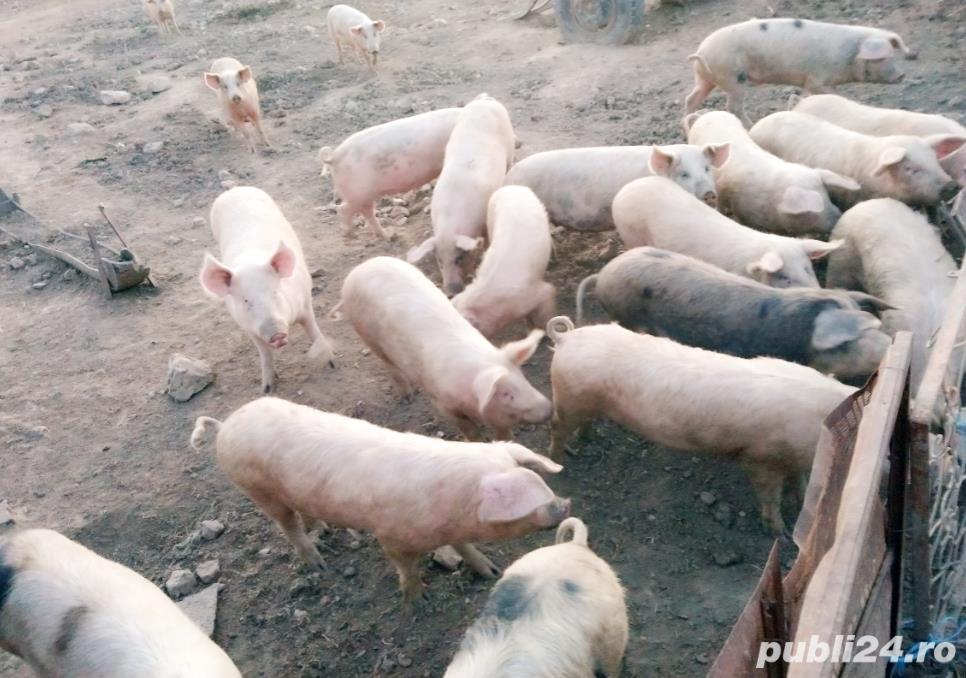 Vand porci  crescuti in propria gospodarie