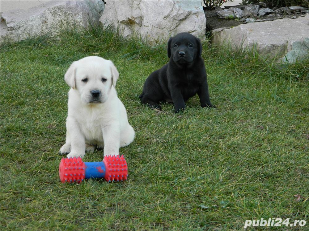catei labrador cu pedigree tip A- calitate de show