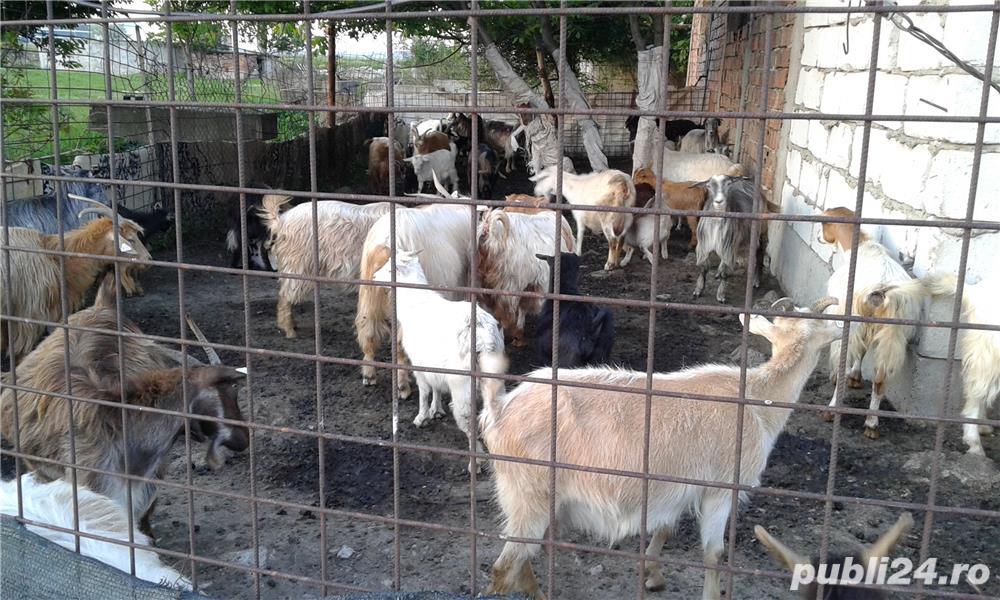 Vand capre cu iezi