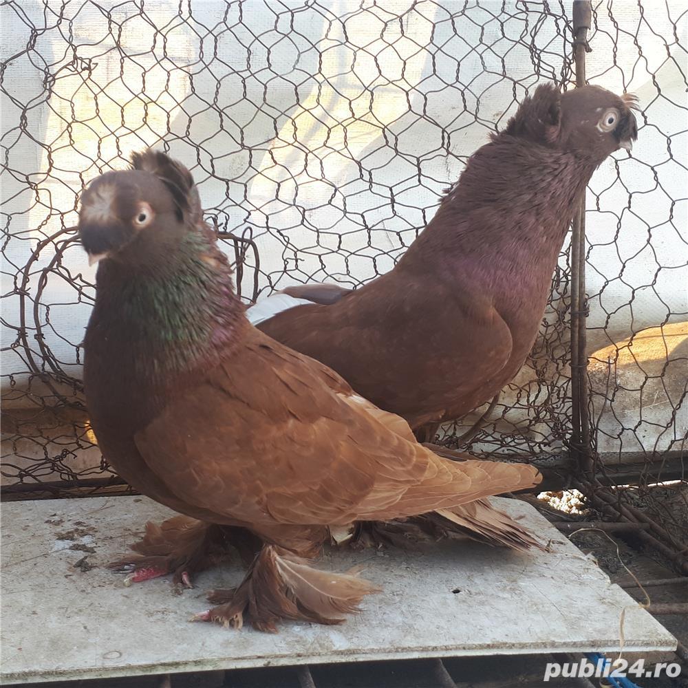 Porumbei Jucatori de Botosani