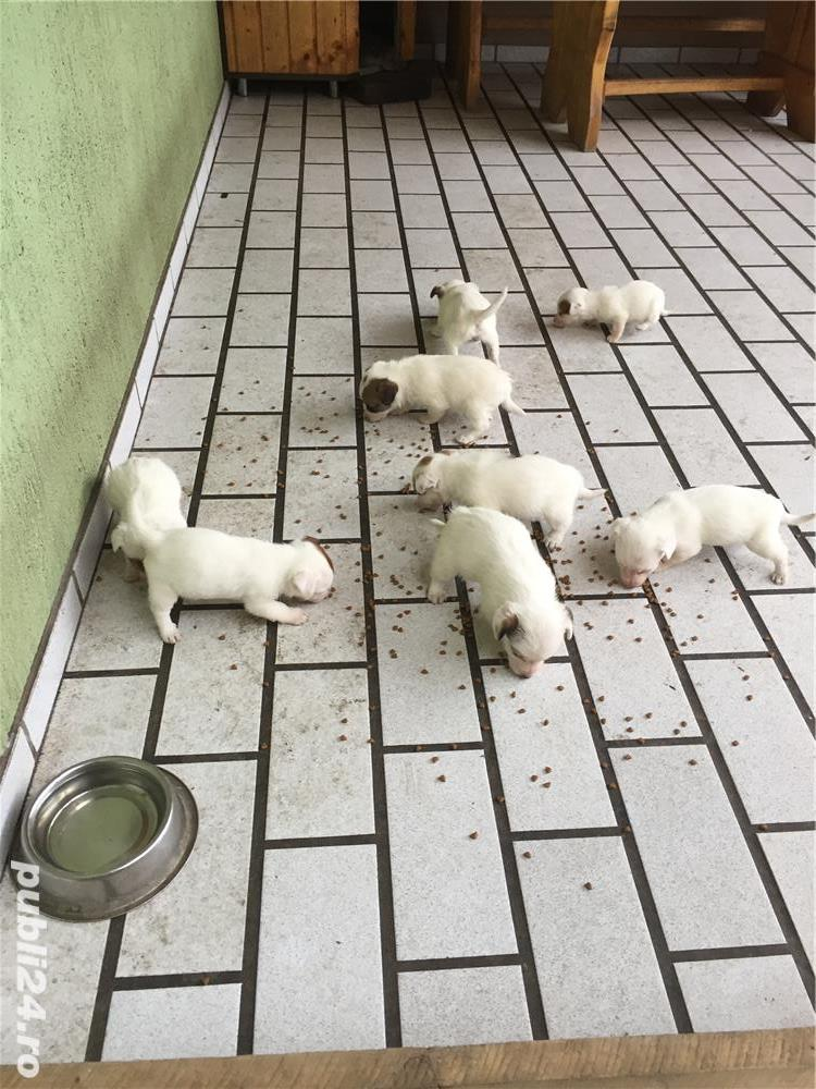 Catei Jack Russel Terrier