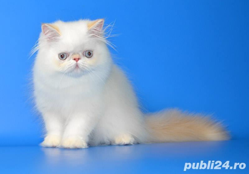 pisicuta persana deosebita