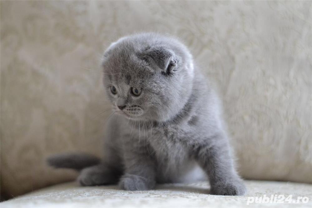 pui pisica crem si albastru  scottish