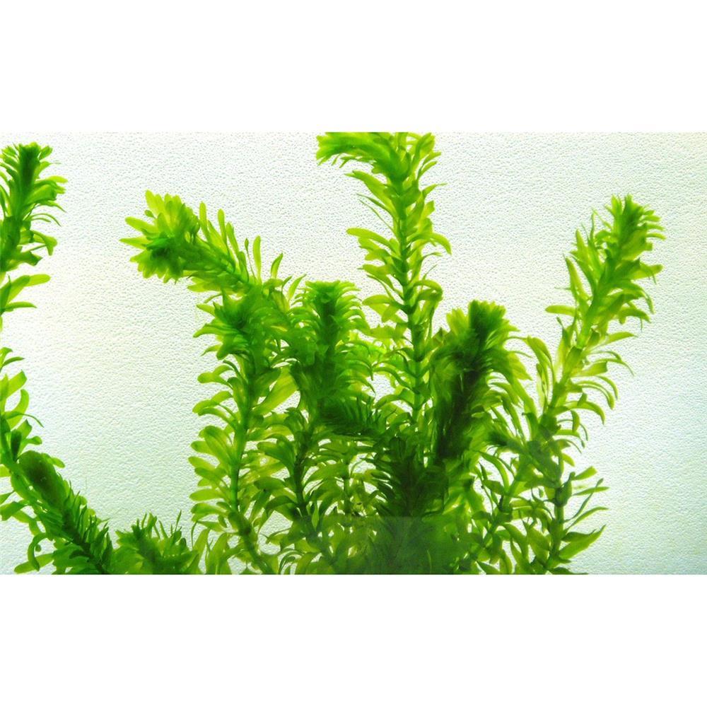 Planta acvariu - Egeria densa (Elodea densa)