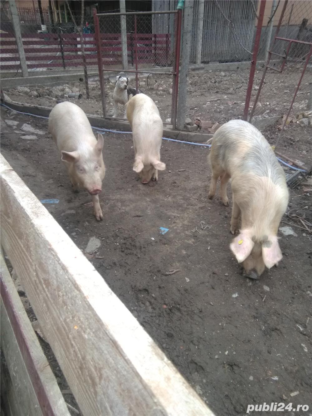Vând porcii 10 lei kg