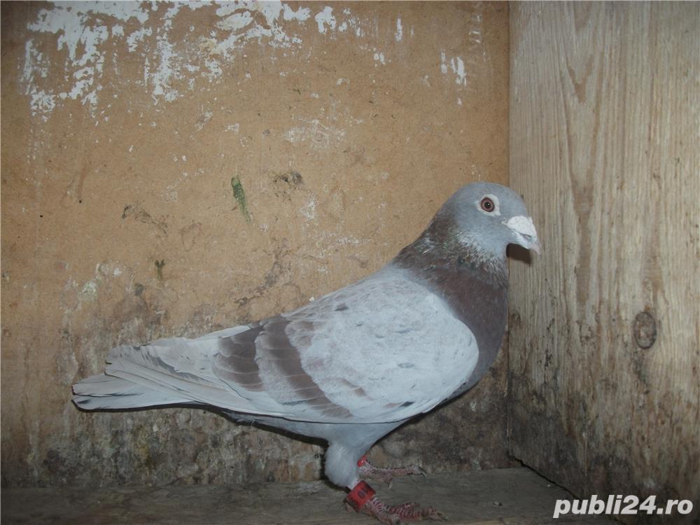 Vand porumbei voiajori de la matca