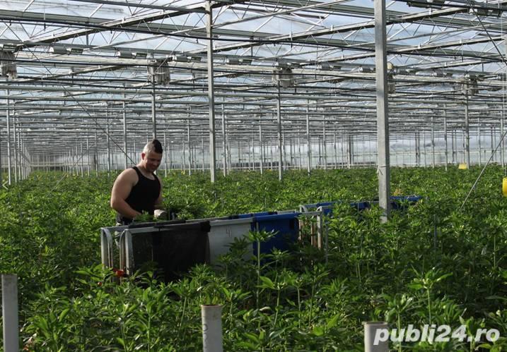 Muncitori la sere si depozite de flori - OLANDA