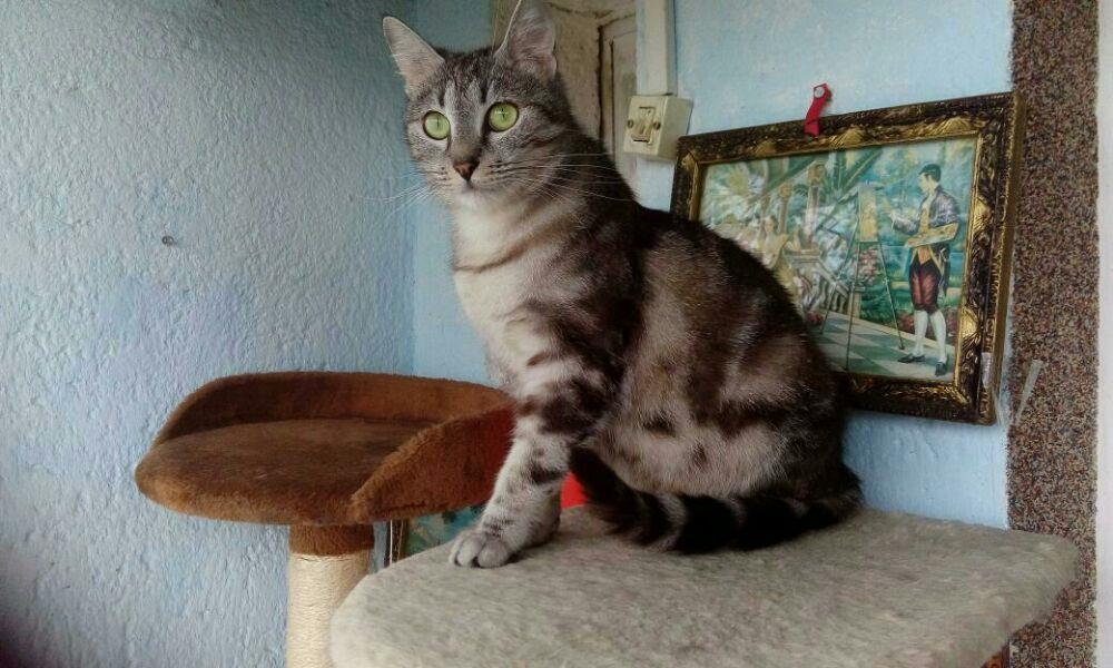 Puii pisicute British silver tabby rasa pura -detin ambii parinti