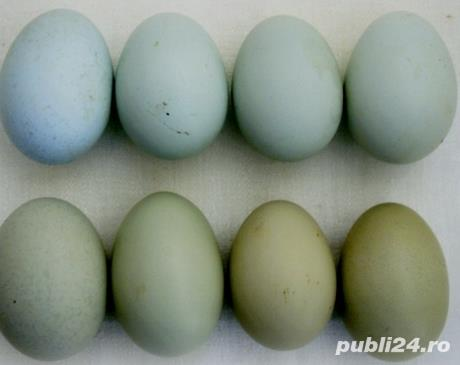 oua de gaini motate de rasa pentru incubat.