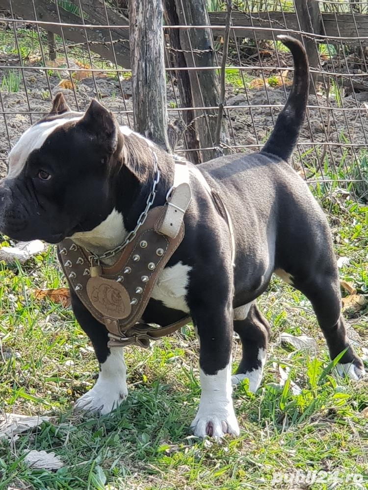 American bully pochet cu pedigree Ebck.