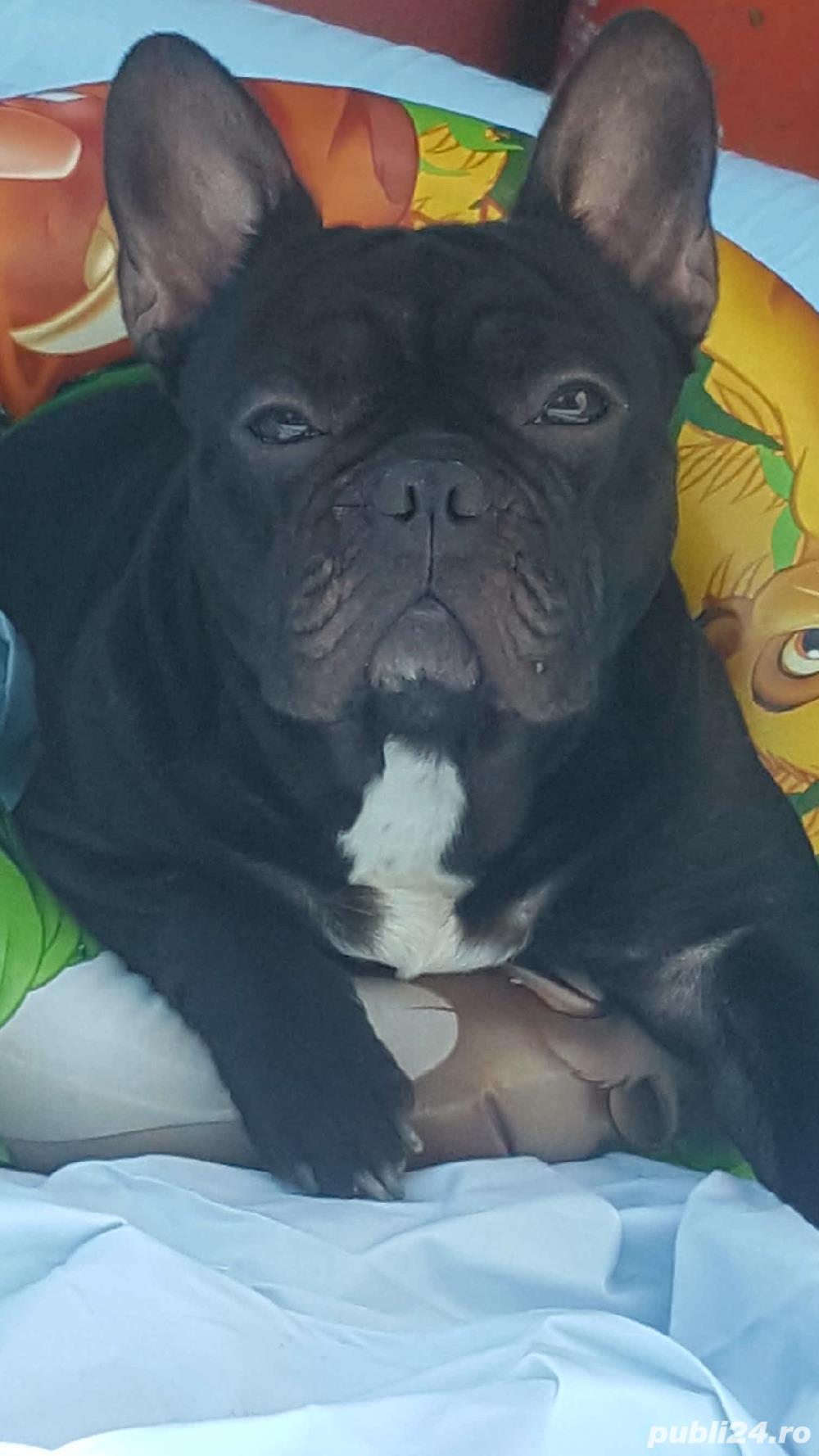 Monta Bulldog francez