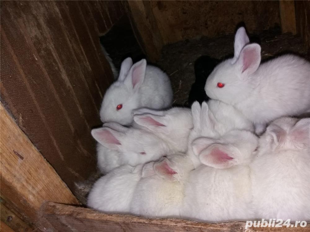 Vanzare pui iepuri de rasa