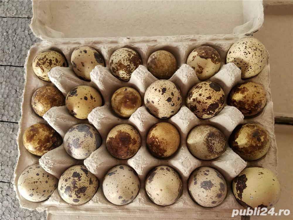 Oua de prepelita pentru consum sau incubat.