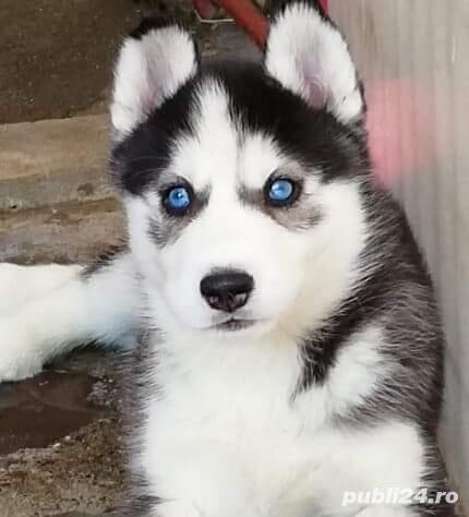 Husky Siberian, pedigree A