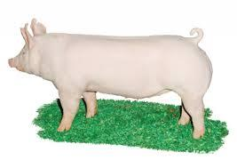 Porc de taiat ,rasa de carne 8 lei