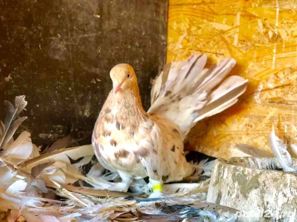 Porumbei roller de debrecen