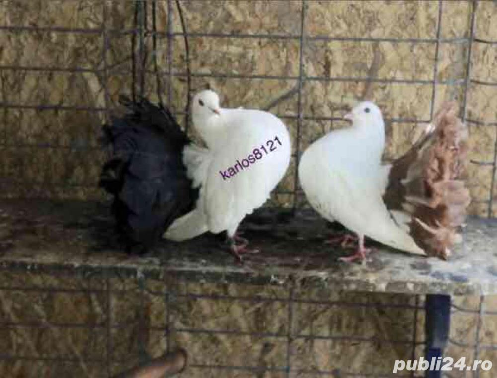 Porumbei voltati albi coada neagra