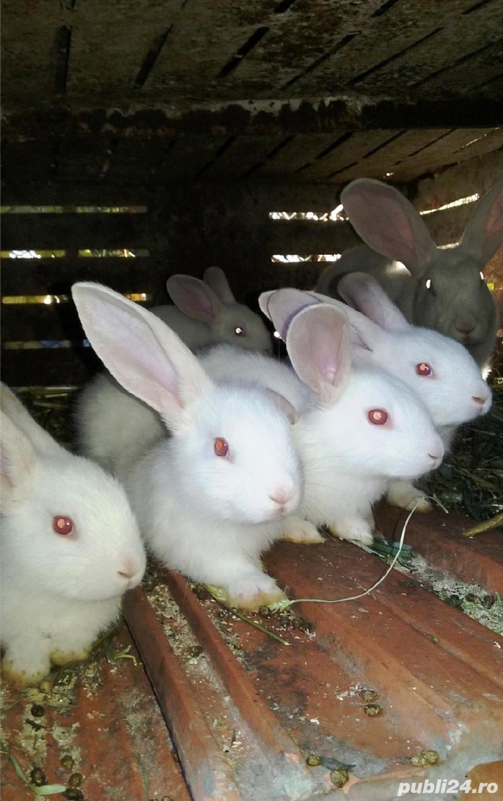 Vând iepuri de casă