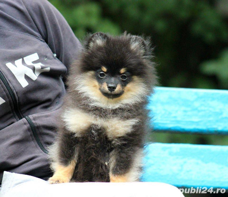 pomeranian mini black and tan
