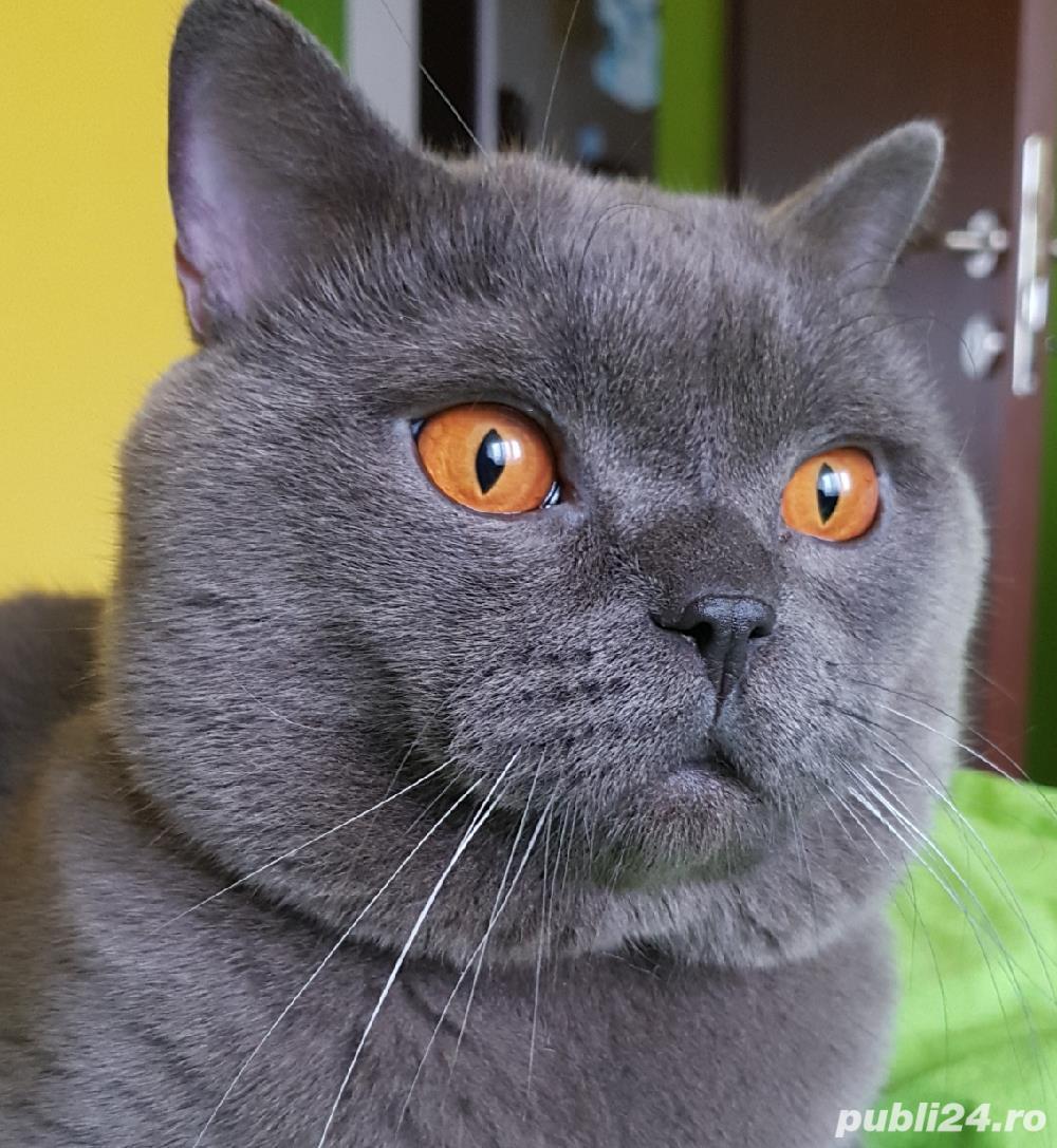 Motan British Shorthair Blue pentu monta