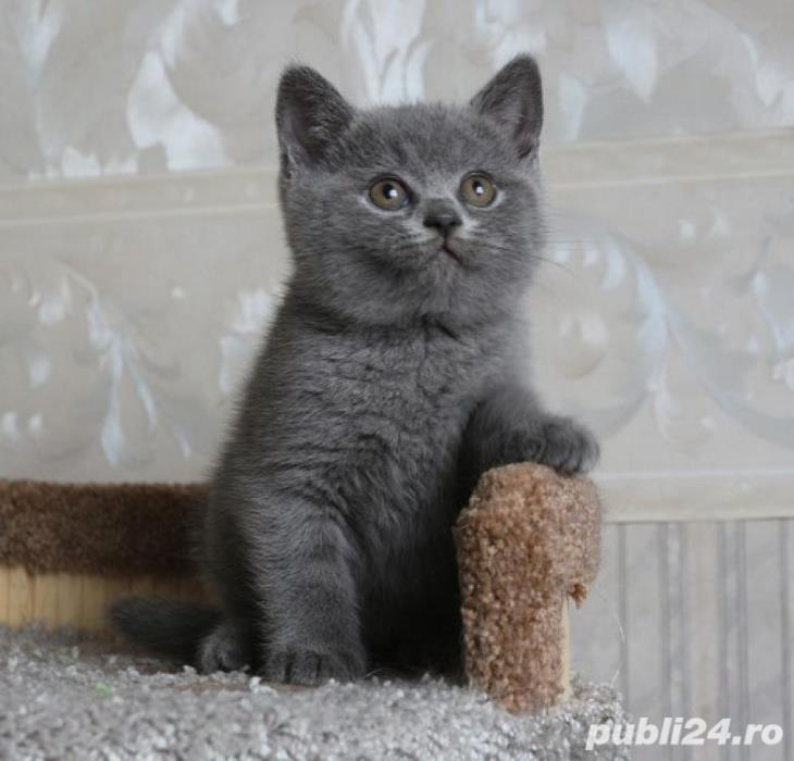 British shorthair blu