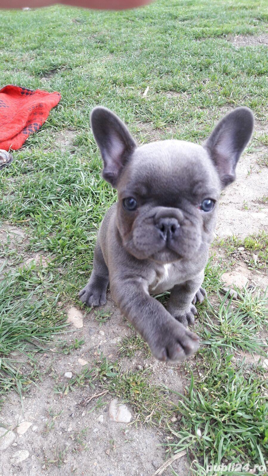 Pui de bulldog buldog francez blue gri albastru