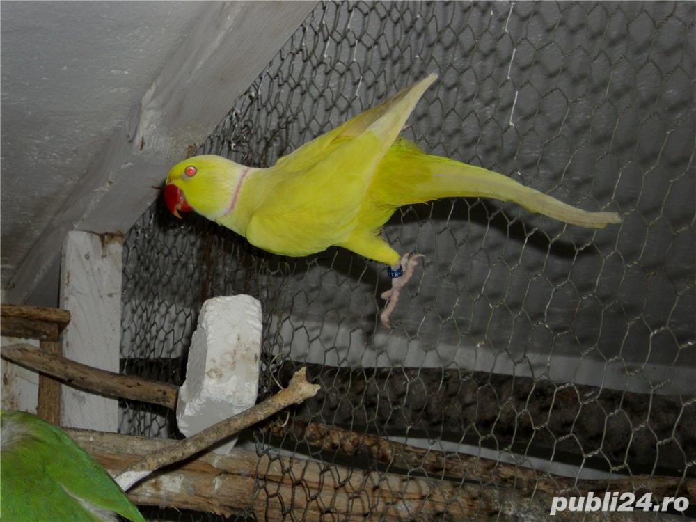 papagalii