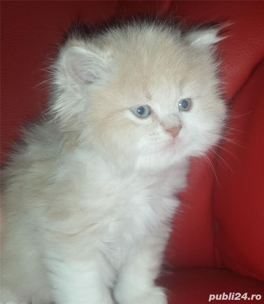 vand pui pisici norvegiana de padure de exceptie crescuti in casa