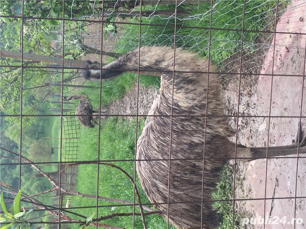 EMU păsări pereche