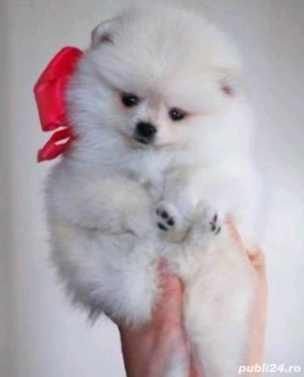 Pomeranian de vanzare| Rasa pura| Livrare in tara